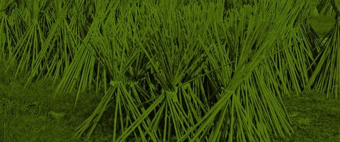 Tonkin, Bambus & Split